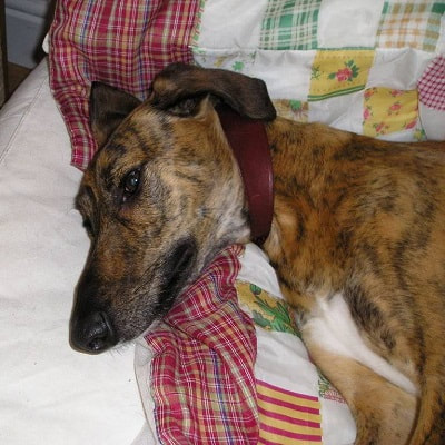 Bryn - the very first dog rehomed by Southern Lurcher Rescue.